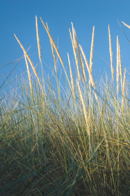 bigstock_Marram_Grass_On_Sand_Dune_1053223