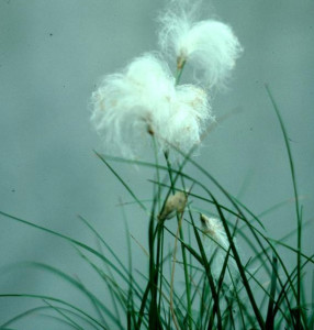 cotton grass_cropped