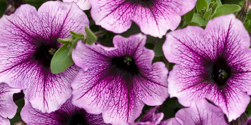 Canada Blooms will recognize the Supertunia® Bordeaux™ as the 2018 Annual of the Year