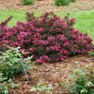 The 2018 Landscape Plant of the Year is a weigela called 'Spilled Wine'