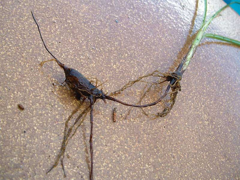 Tubers can retreat deep into the soil, upwards of 0.3 m (1 ft) below the surface.