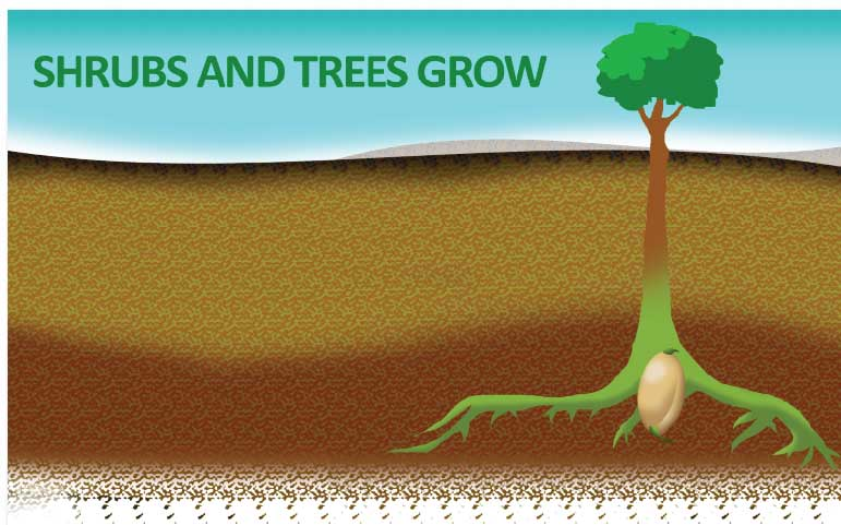 the herbicide is only applied to the top layer of soil, so established shrubs, trees, and other plants with deep root structures will not be affected by its application