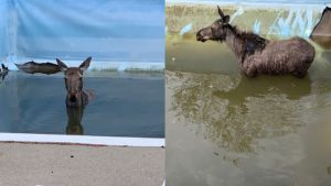 A young moose who ended up in the backyard pool at a residence in the Greater Sudbury, Ont.-area was successfully rescued and released back into the wild.