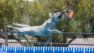 Pooch Pools School has opened on Vancouver Island, the first sanctioned 'dock diving' facility in the area.